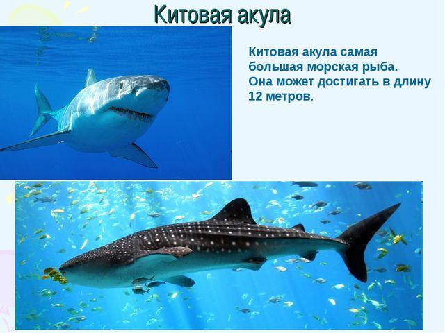 Китовая акула Китовая акула самая большая морская рыба. Она может достигать в...