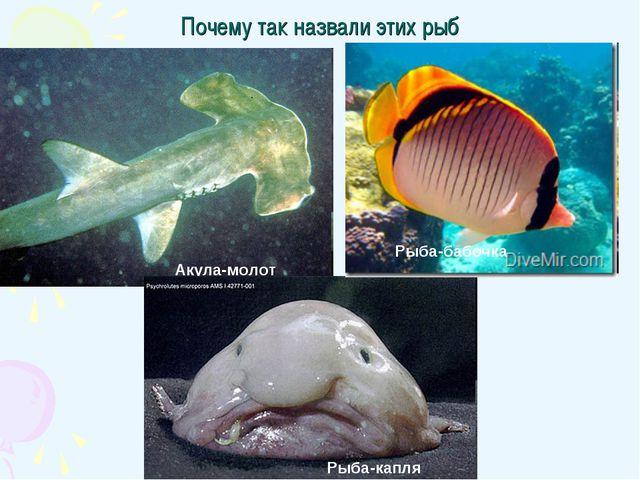 Почему так назвали этих рыб Акула-молот Рыба-капля Рыба-бабочка