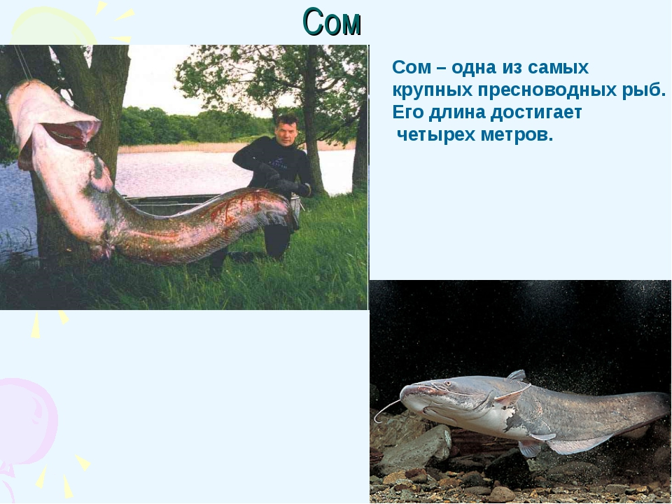 Сом Сом – одна из самых крупных пресноводных рыб. Его длина достигает четырех...