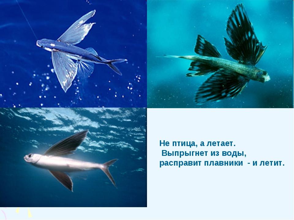 Не птица, а летает. Выпрыгнет из воды, расправит плавники - и летит.