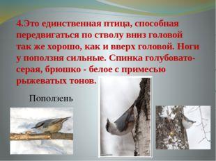 4.Это единственная птица, способная передвигаться по стволу вниз головой так