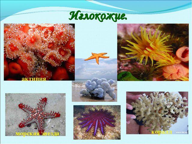 актиния морская звезда коралл