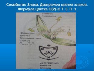 Семейство Злаки. Диаграмма цветка злаков. Формула цветка О(2)+2 Т 3 П 1