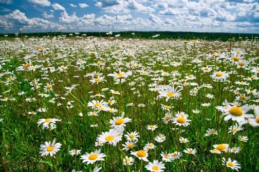 http://2.bp.blogspot.com/-mvoZS1oSdK8/TktsiBc4voI/AAAAAAAACLQ/MKaAYSFJvlo/s00/romashki.jpg