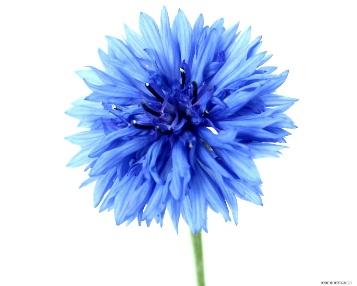http://namonitore.ru/uploads/catalog/flowers/goluboy_tsvetok_1280.jpg