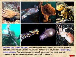 Верхний ряд, слева направо: обыкновенный осьминог, осьминог адский вампир, но