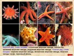 Верхний ряд, слева направо: солнечная морская звезда, эхинастер, кровавая мор