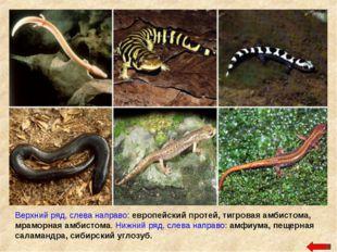 Верхний ряд, слева направо: европейский протей, тигровая амбистома, мраморная