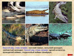 Верхний ряд, слева направо: гангский гавиал, нильский крокодил, гребнистый кр