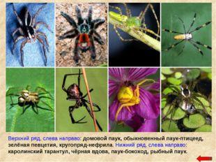 Верхний ряд, слева направо: домовой паук, обыкновенный паук-птицеед, зелёная