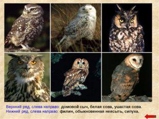 Верхний ряд, слева направо: домовой сыч, белая сова, ушастая сова. Нижний ряд