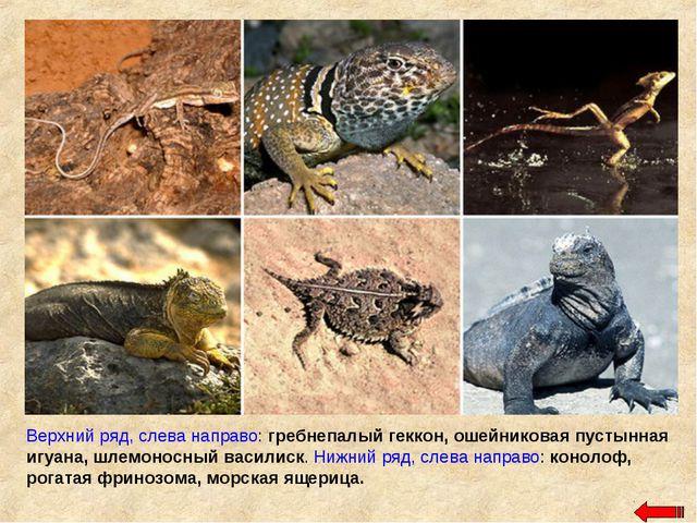 Верхний ряд, слева направо: гребнепалый геккон, ошейниковая пустынная игуана,...