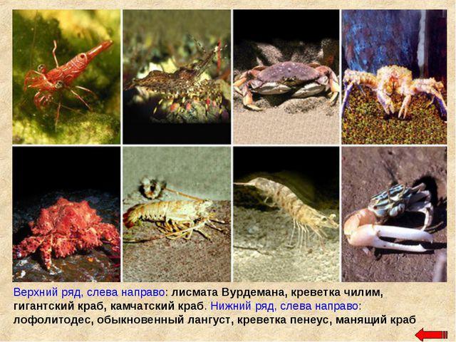 Верхний ряд, слева направо: лисмата Вурдемана, креветка чилим, гигантский кра...