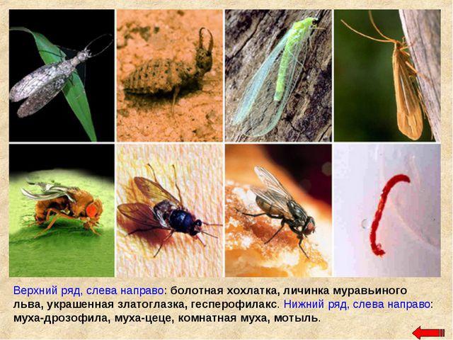 Верхний ряд, слева направо: болотная хохлатка, личинка муравьиного льва, укра...