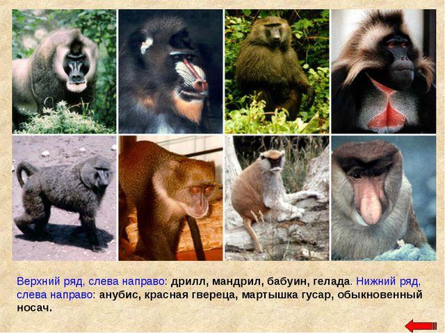 Верхний ряд, слева направо: дрилл, мандрил, бабуин, гелада. Нижний ряд, слева...