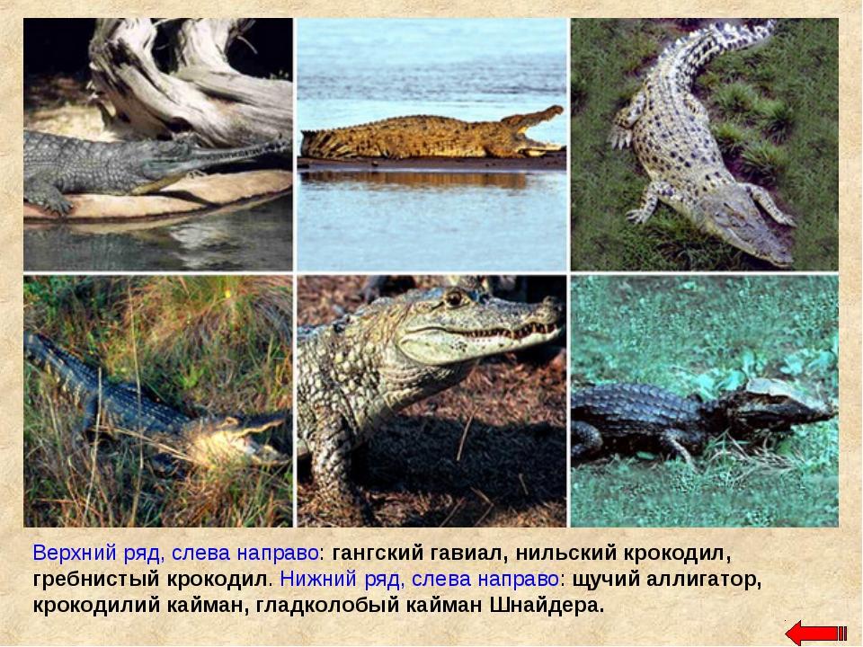 Верхний ряд, слева направо: гангский гавиал, нильский крокодил, гребнистый кр...