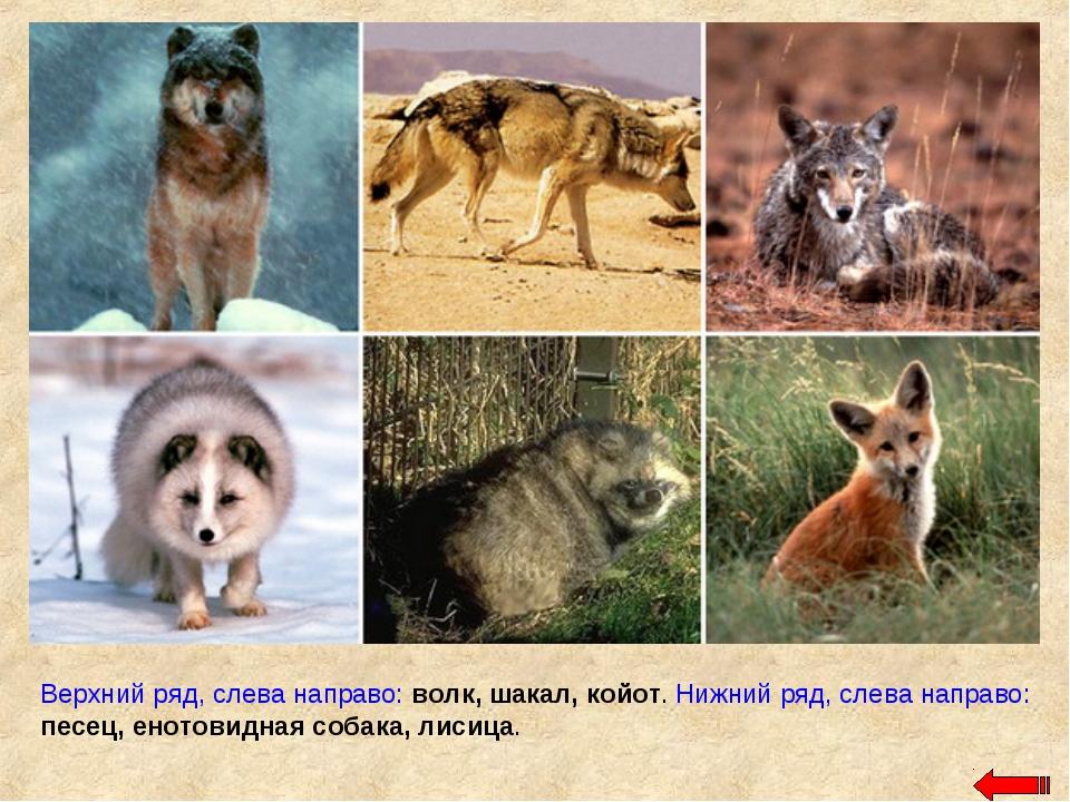 Верхний ряд, слева направо: волк, шакал, койот. Нижний ряд, слева направо: пе...