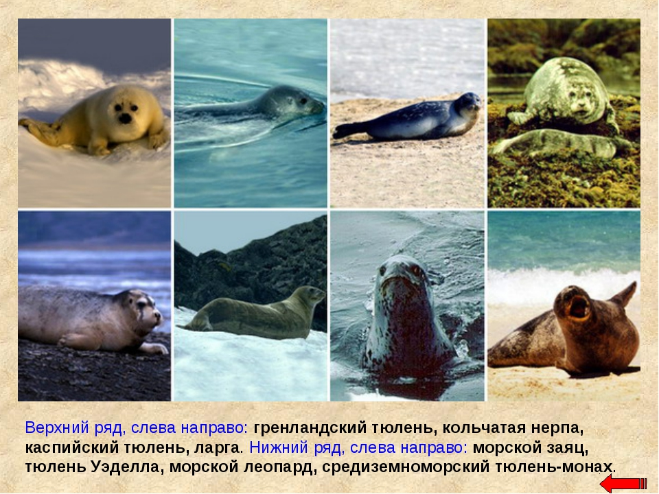 Верхний ряд, слева направо: гренландский тюлень, кольчатая нерпа, каспийский...