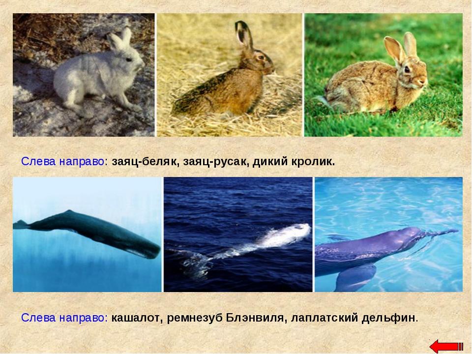 Слева направо: заяц-беляк, заяц-русак, дикий кролик. Слева направо: кашалот,...