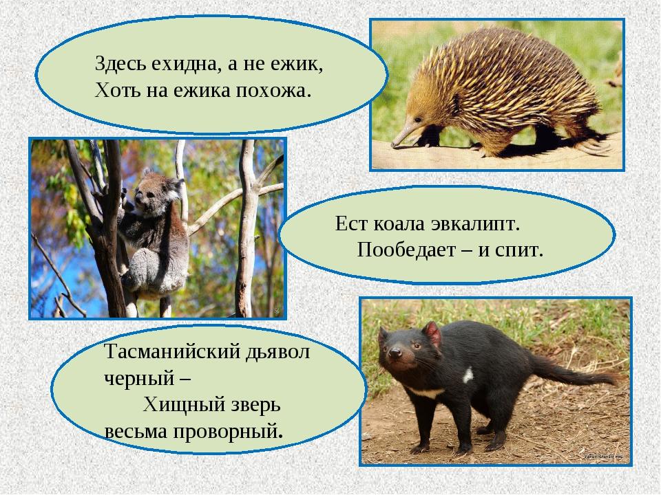 Ест коала эвкалипт. Пообедает – и спит. Тасманийский дьявол черный – Хищный з...