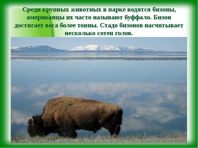 Среди крупных животных в парке водятся бизоны, американцы их часто называют...