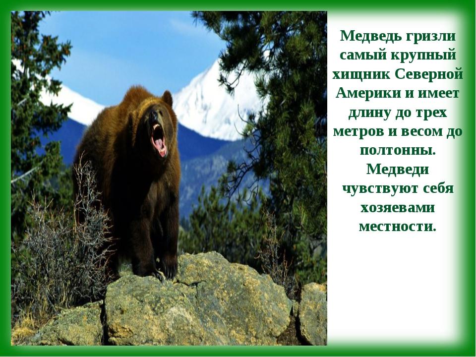 Медведь гризли самый крупный хищник Северной Америки и имеет длину до трех ме...
