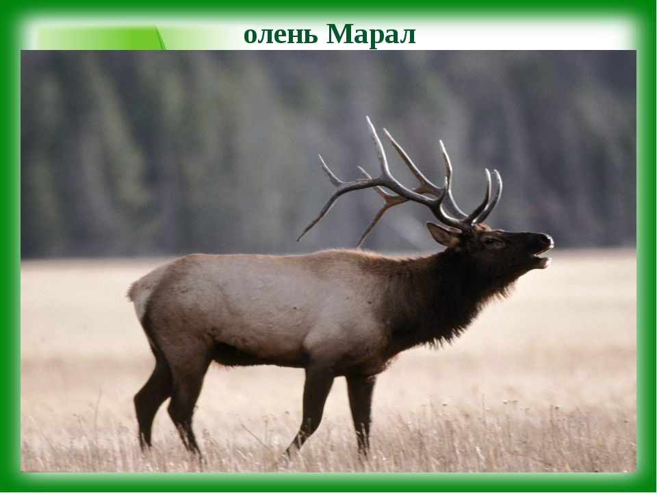 олень Марал