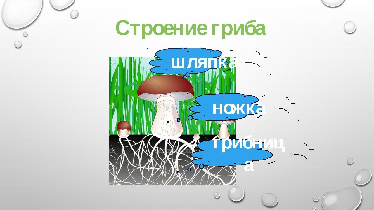 Строение гриба шляпка ножка грибница