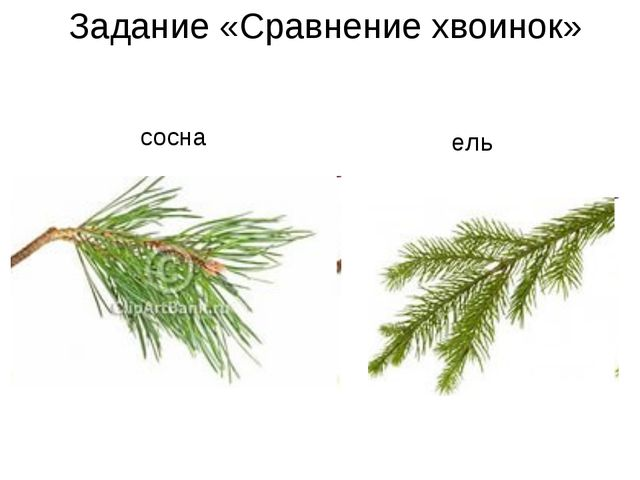 Задание «Сравнение хвоинок» сосна ель
