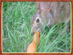 Длительное время зайцев относили к грызунам, основываясь на том, что резцы у