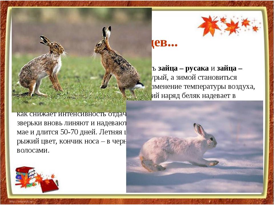 В средней полосе России можно встретить зайца – русака и зайца – беляка. Лето...