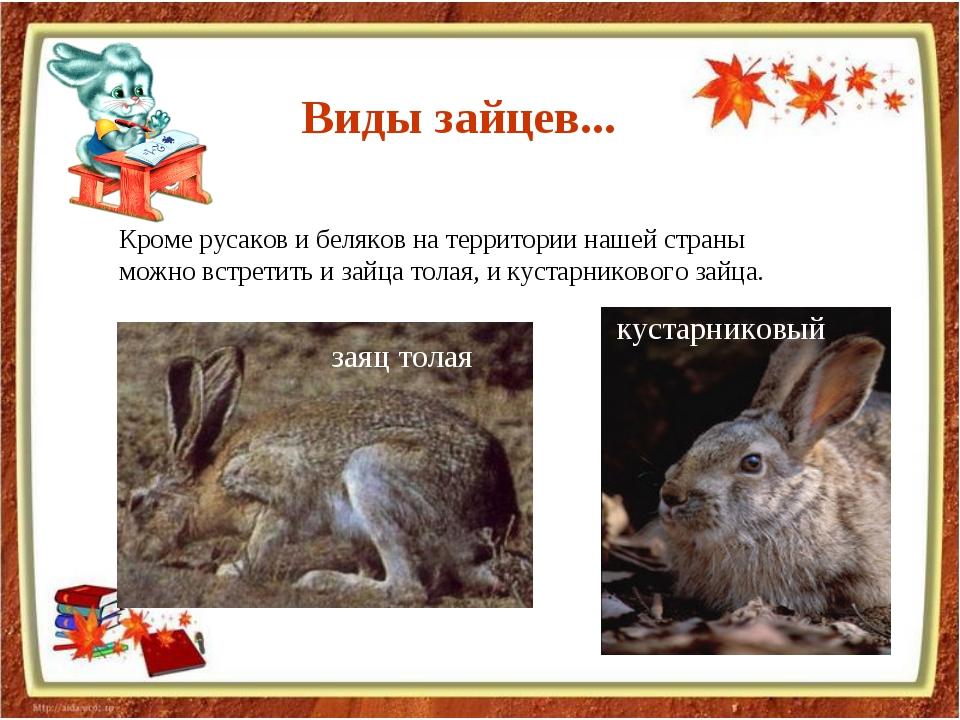 Кроме русаков и беляков на территории нашей страны можно встретить и зайца то...