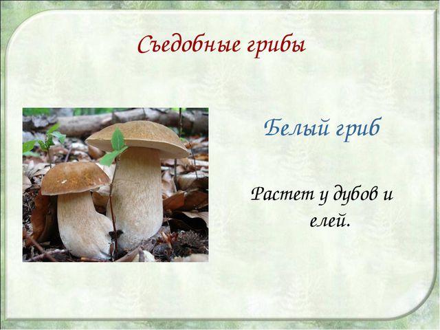 Съедобные грибы Белый гриб Растет у дубов и елей.