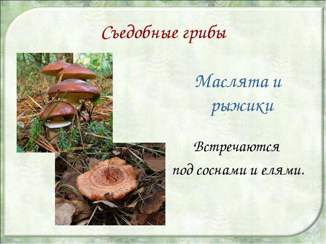 Съедобные грибы Маслята и рыжики Встречаются под соснами и елями.