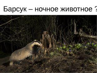 Барсук – ночное животное ?