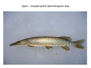 Щука – хищная рыба пресноводных вод.