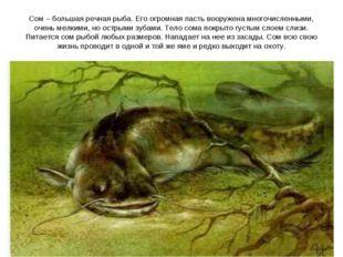 Сом – большая речная рыба. Его огромная пасть вооружена многочисленными, очен