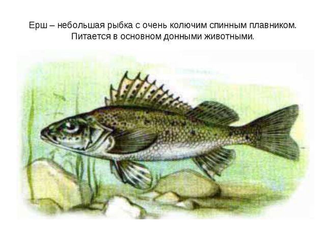 Ерш – небольшая рыбка с очень колючим спинным плавником. Питается в основном...