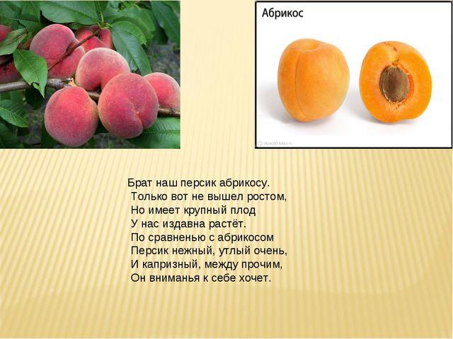 Брат наш персик абрикосу. Только вот не вышел ростом, Но имеет крупный плод У...