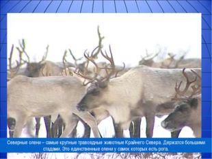 Северные олени – самые крупные травоядные животные Крайнего Севера. Держатся