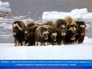 Овцебык – самое выносливое животное, не боится холода и мороза. Его толстая ш