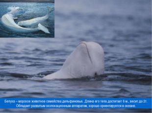 Белуха – морское животное семейства дельфиновых. Длина его тела достигает 6 м