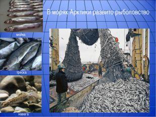 В морях Арктики развито рыболовство мойва треска навага