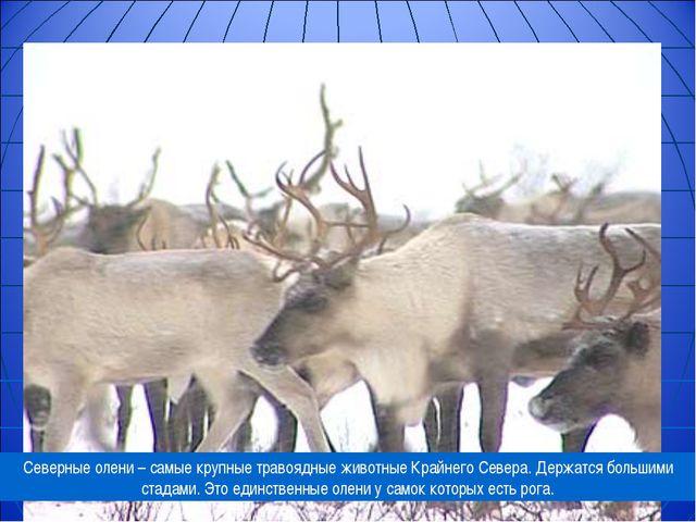 Северные олени – самые крупные травоядные животные Крайнего Севера. Держатся...