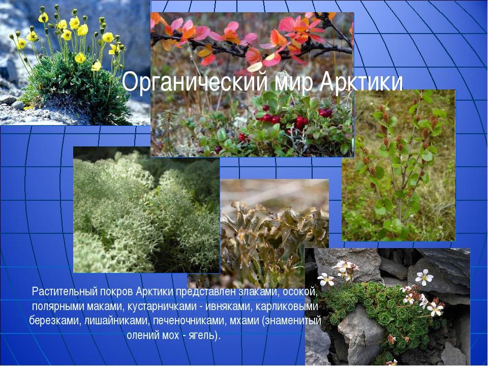 Растительный покров Арктики представлен злаками, осокой, полярными маками, ку...