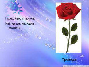 І красива, і пахуча Квітка ця, на жаль, колюча. Троянда