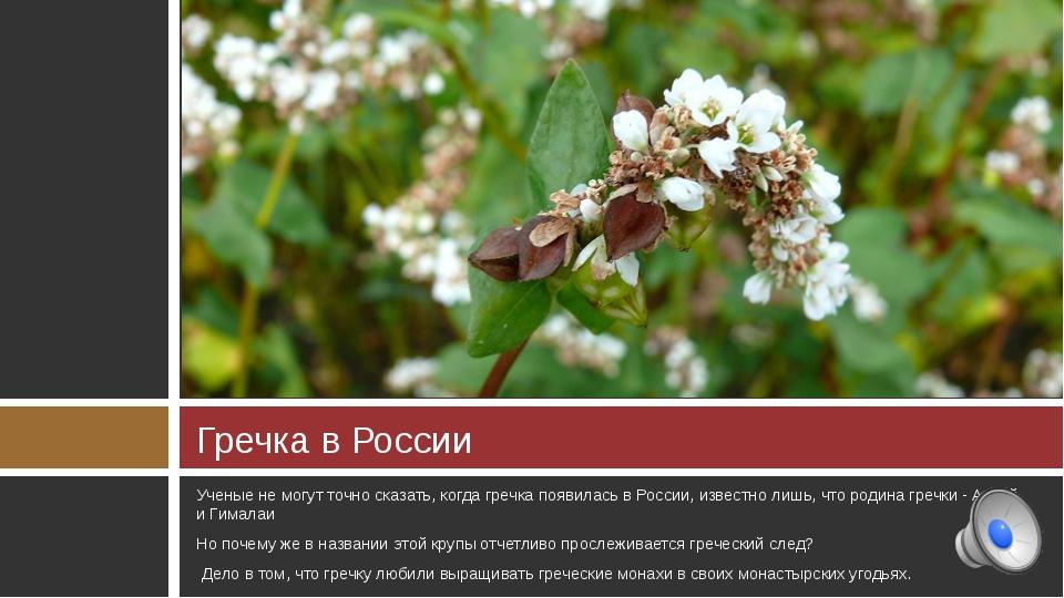 Гречка в России Ученые не могут точно сказать, когда гречка появилась в Росси...