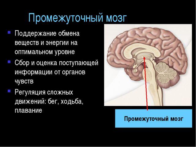Промежуточный мозг Поддержание обмена веществ и энергии на оптимальном уровне...