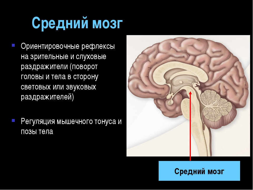 Средний мозг Ориентировочные рефлексы на зрительные и слуховые раздражители (...