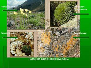 Полярный мак Моховая подушечка Камнеломка Лишайники Растения арктических пуст